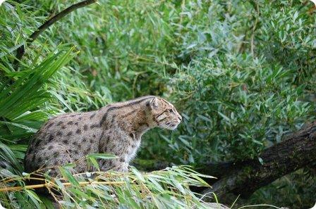 Кошка-рыболов (Prionailurus viverrinus)