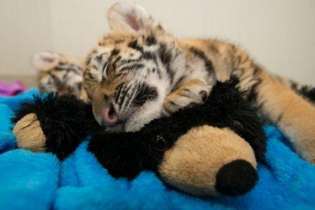 Тигрята из зоопарка Коламбуса