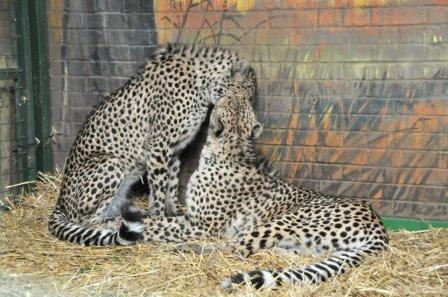 В зоопарк Paradise Wildlife Park завезли трех гепардов