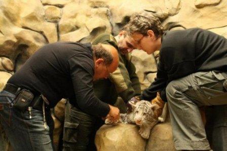 В чешском зоопарке ветеринары осмотрели белых тигрят