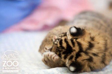 Суматранский тигренок из Такомы