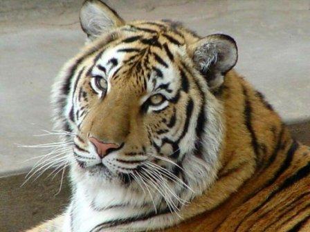 В зоопарке столицы Алтайского края поселится амурский тигр