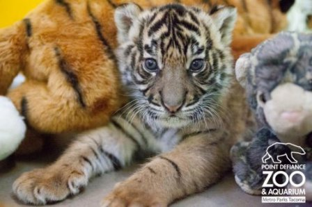 Трёхнедельный суматранский тигрёнок из Такомы