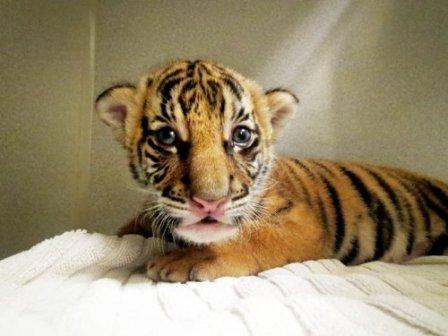 Очаровательный малайский тигрёнок Бирани