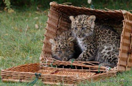 Немецкий зоопарк представил китайских леопардят