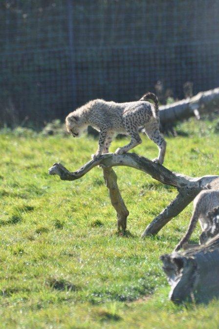 Семейка гепардов