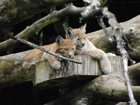 Рысиное семейство ZSL Whipsnade Zoo