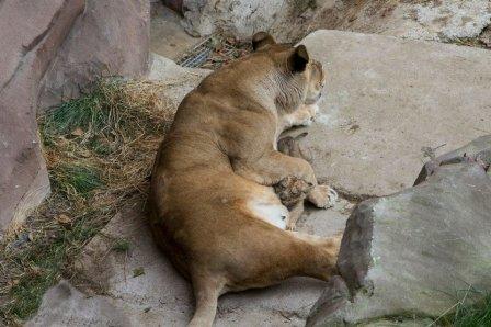 Зоопарк Антверпена показал львенка