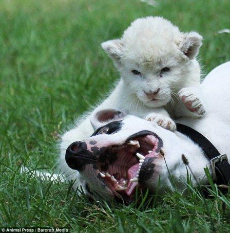 Белый львенок подружился с собакой
