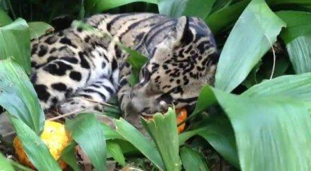 Дымчатый леопард играет с тыквами