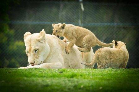 В Mogo Zoo показали львят