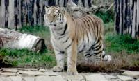 Тигр из Зоопарка Удмуртии переехал жить в Белоруссию