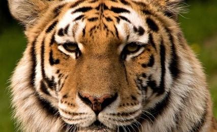 Эксперимент Владимира Путина: исчезновение или подмена тигрицы – расследование продолжается