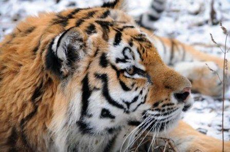 Подарок на день рождения: ветеринар Даллакян получил фотоотчет о спасенном им тигренке Жорике