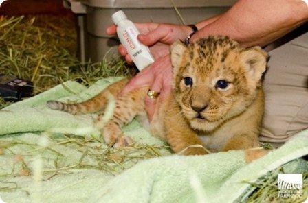Львята из Woodland Park Zoo прошли первый медицинский осмотр