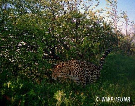 Редчайший леопард в мире пришел во Владивосток