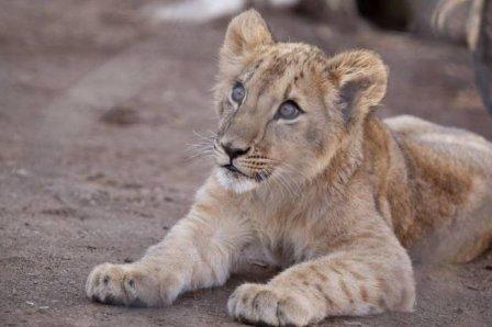 В зоопарк Денвера привезли львят из Катара