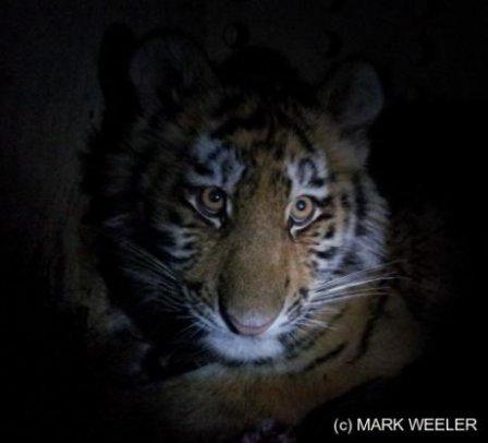 У тигрицы Золушки появились соседи