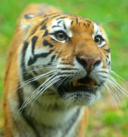 Власти России заботятся об амурских тиграх и леопардах