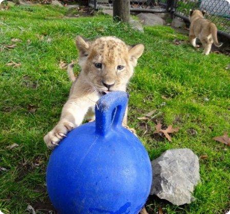 Львята из американского зоопарка Southwick Zoo