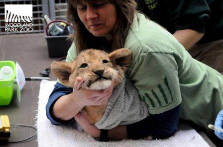 Маленьких львят из Сиэтла осмотрели ветеринары