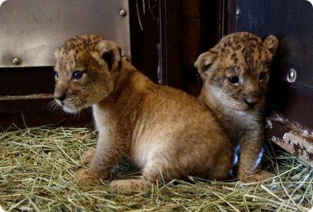 Трое львят из зоопарка Гонолулу