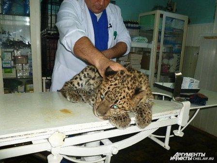 Спаситель тигра Жорика спас леопарда Лорда