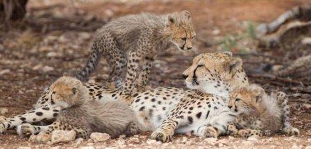 Гепардята из Аделаиды