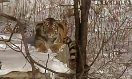 Тигрица Золушка чувствует себя превосходно (видео)
