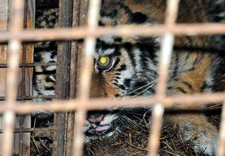 Тигрице с именем Светлая сделали операцию на передней лапе