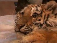 В Приморье спасли из капкана браконьеров тигренка (видео)