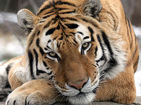 Непал и Индия решили пересчитать своих тигров