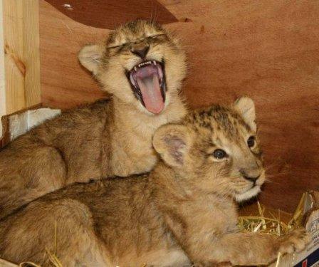 Львята-близнецы из Бристоля