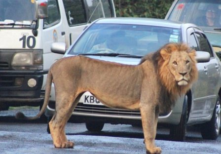 Дорожная пробка из-за парочки львов