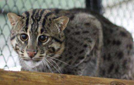 В Роевом ручье поселилась виверровая кошка Ева