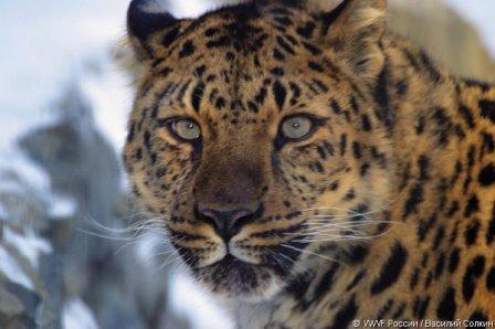 На юго-западе Приморья начался учет дальневосточного леопарда по следам на снегу