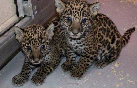 В Милуоки показали двух детенышей ягуара