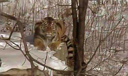 Реабилитация осиротевших тигрят проходит успешно
