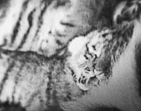 Зоопарк Сан-Франциско показал суматранского тигрёнка (фото)
