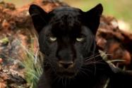 Леопарды-меланисты