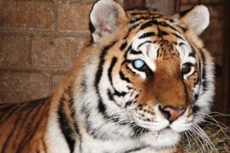 В Ивановском зоопарке финишировала акция по сбору средств тигрице Глюкозе