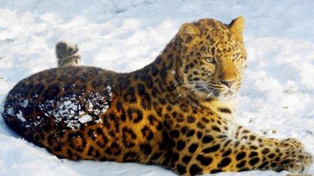 У амурского леопарда появились шансы на выживание