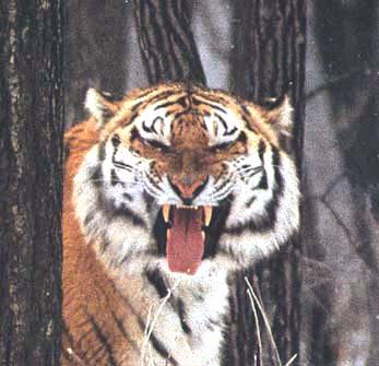 Дальневосточный леопард отступил от опасной черты