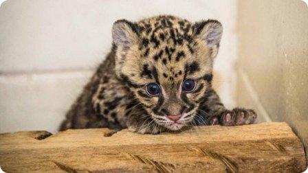 Детеныши дымчатого леопарда из Национального зоопарка