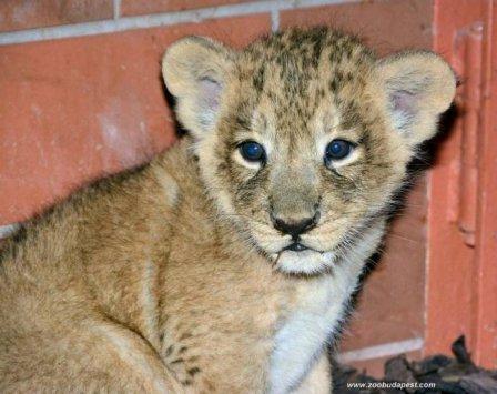 Индийские львята в зоопарке Будапешта