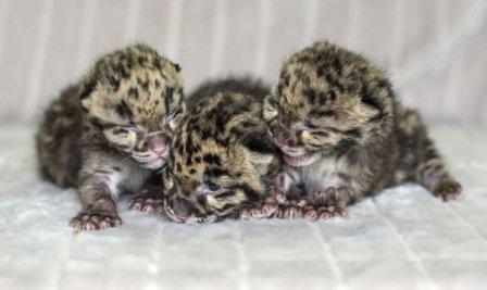 В Нэшвилле родились дымчатые леопарды