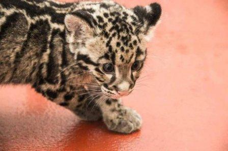 Новые фотографии дымчатых леопардов из Смитсоновского зоопарка