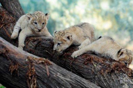 У львят колумбийского зоопарка первая фотосессия