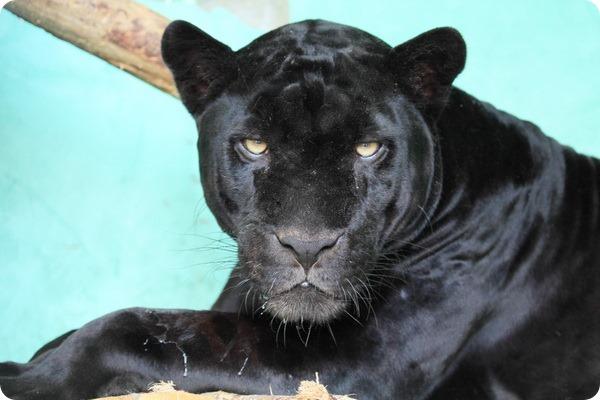 Страшная трагедия в Новосибирском зоопарке, ягуар загрыз уборщицу на глазах у посетителей.