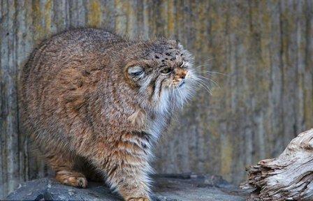 Настоящий сердитый кот живет в зоопарке Цюриха